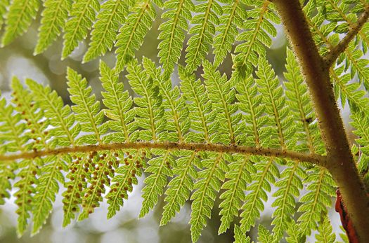 A fern displaying its fractal features. The same shape is repeated in the branches, the fronds and the leaves – and even the veins inside each leaf.(Wikimedia Commons)